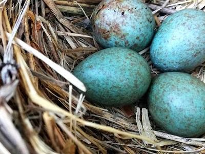 Linnunpesä, jossa on neljä sinertävää munaa.