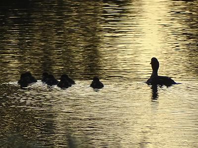 Kuvassa on vedessä oleva lintupesue.
