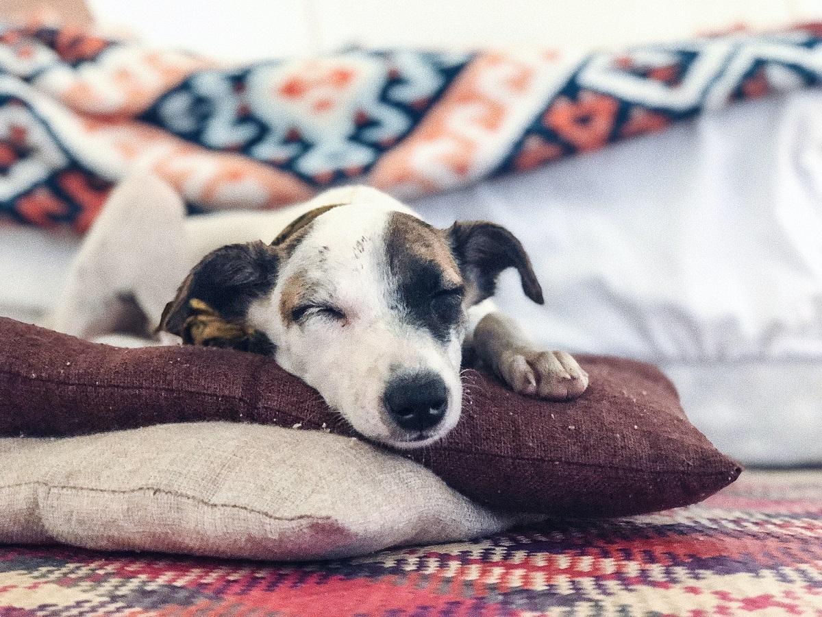 Koira makoilee tyynyn päällä pää alhaalla ja silmät kiinni nauttien, kotoisa tunnelma.